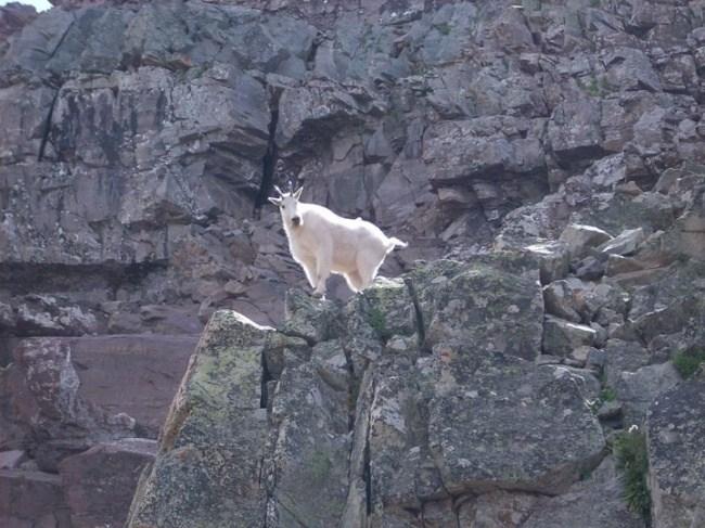 горные козлы бесстрашные животные (6)