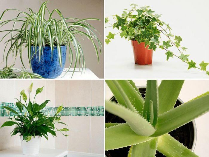 Лечебные комнатные растения. \ Фото: rastenievod.com.