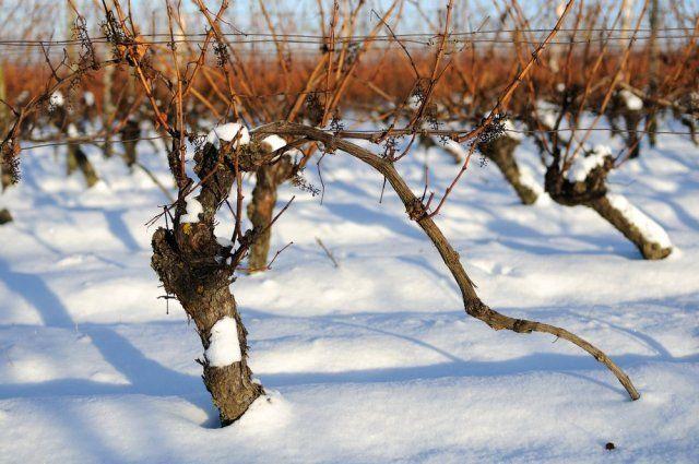 Как укрыть виноград снегом