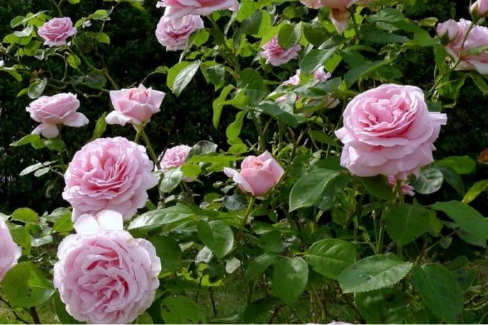 Кустовые розы дружат с чесноком. /Фото: zlatpitomnik.ru