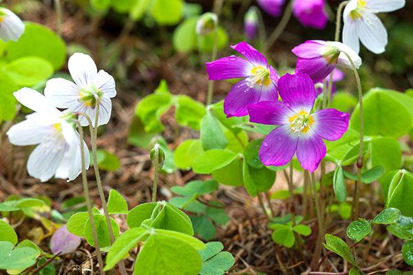Сиреневые и белые цветы кислицы обыкновенной