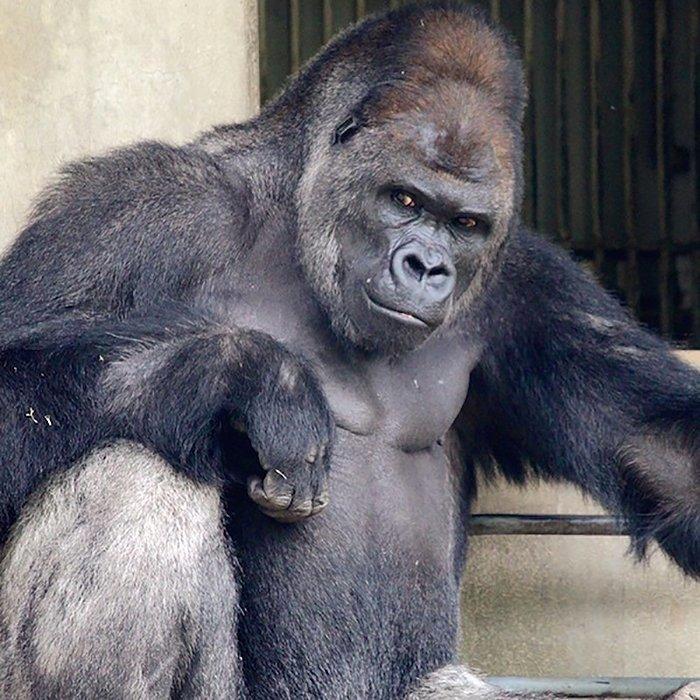 Эту гориллу не зря сравнивают с Джорджем Клуни! гориллы, животные, животные-модели, зоопарк, красавчик, красота, обезьяны, япония