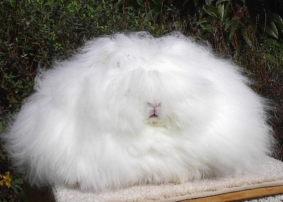 ангорский кролик фото и уход за ними