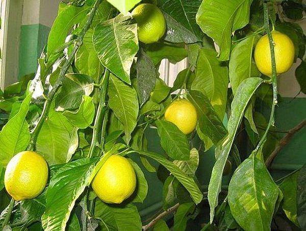 Сухость и жара могут погубить лимон
