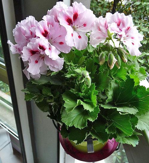 Красивый цветок с пышными цветами в домашних условиях