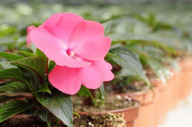В домашних условиях ахименесы довольно часто расцветают дважды за сезон