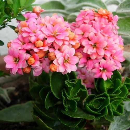 Каланхоэ цветущий: как ухаживать чтобы цвел?