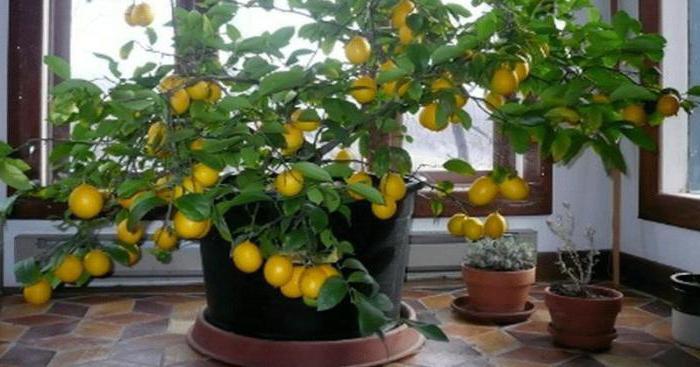Почему у лимона опадают листья зимой