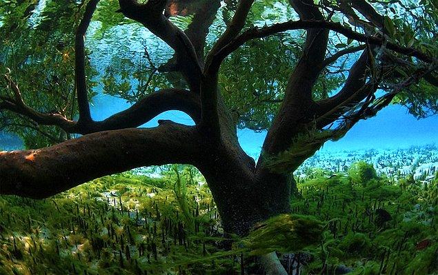 «Подводное» мангровое дерево.