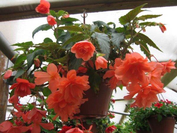 Растение с красными листьями фото и названия