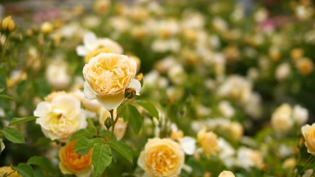 """Розы Остина """"Graham Thomas"""" (на фото) названы в честь известного садовода Грэма Стюарта Томаса. Относятся к шрабам (кустарники, полуплетистые розы) и к климберам, т.е. оплетающим, но высота и ширина куста у них обычно не самая большая"""
