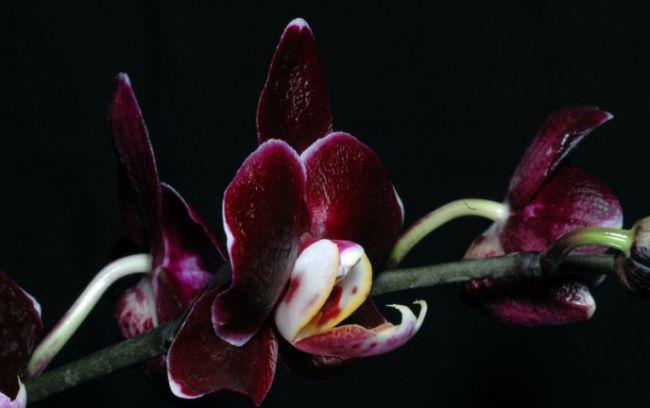 Все орхидеи без исключения способны цвести в домашних условиях непрерывно в течение месяца