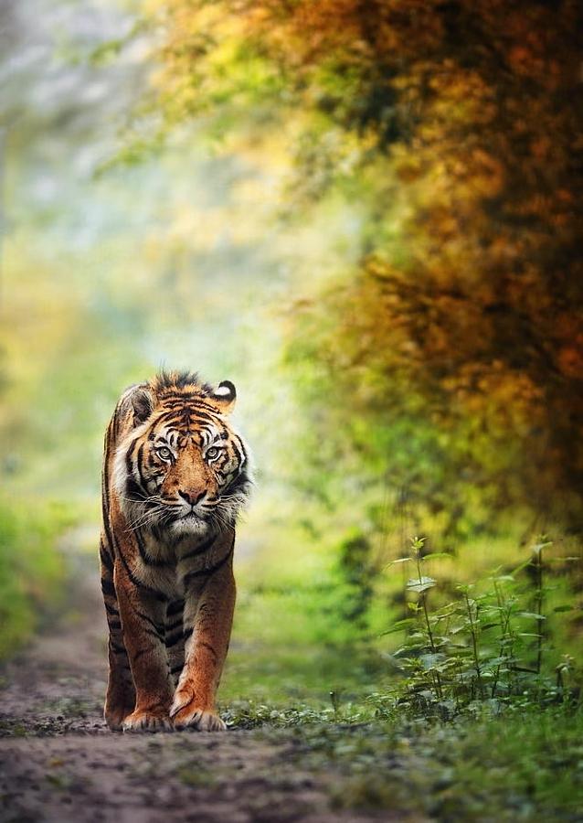 Тигры – дикий животный магнетизм в 30 потрясающих фотографиях 14