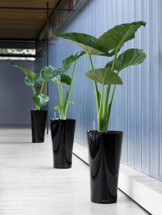 Тропическое растение алоказия – ядовито для человека