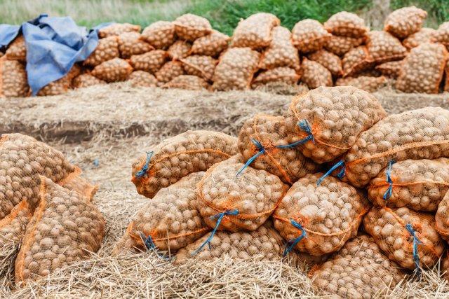 Сушка картофеля перед хранением