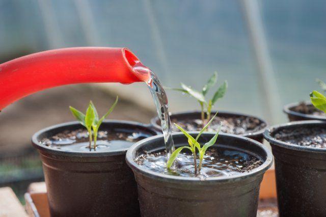 Полив рассады томата производят под корень
