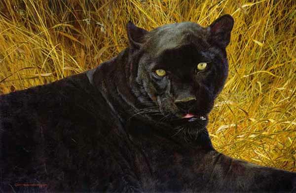 Carl Brenders Black Shinx