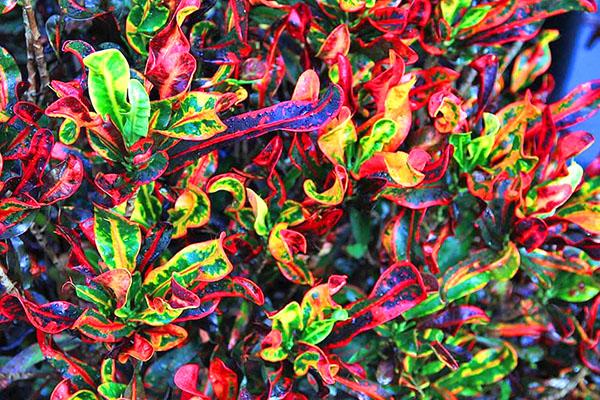 Цветок кротон с кудрявыми пестрыми листьями