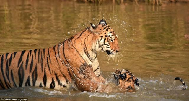 «И за ушами помой!» Как тигрица купала своего малыша в реке животные, купиние, тигр
