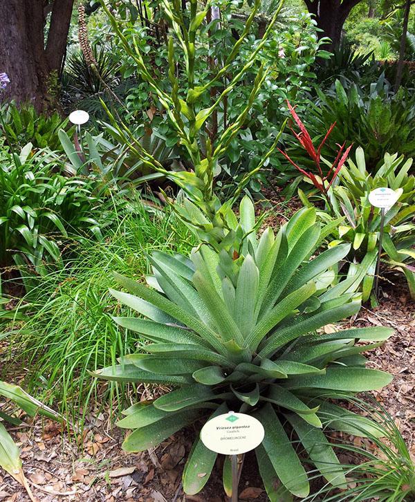 цветет вриезия гигантская