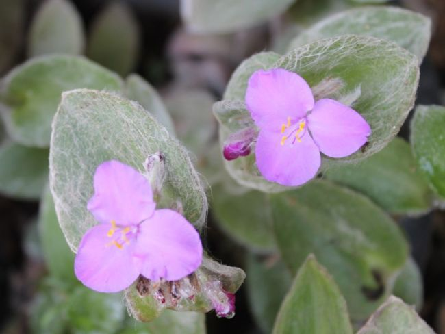Традесканция силламонтана (T.sillamontana)