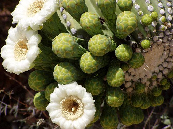 Сагуаро. Империя кактусов