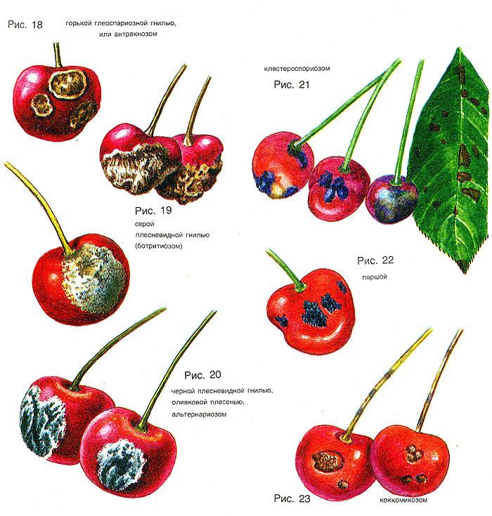 Болезни вишни и их лечение