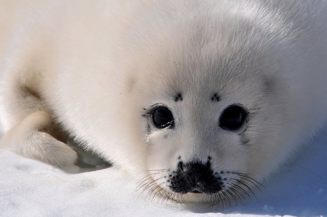 Гренландские тюлени