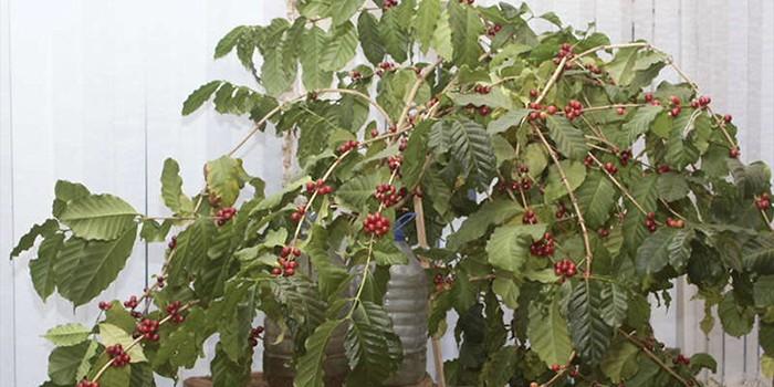 Плодоносящее кофейное дерево