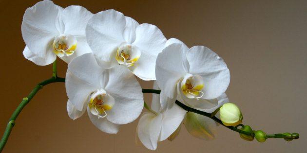 Как ухаживать за орхидеями Фаленопсис