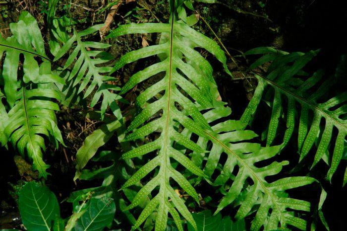 Микросорум сколопендровый (Microsorum scolopendria)