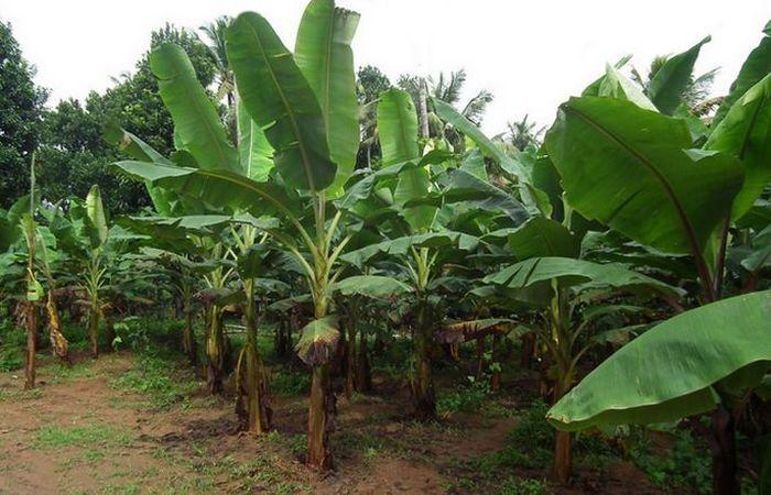 Альтернатива пластику: банановое дерево.
