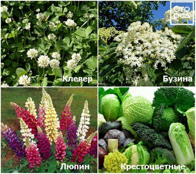 Растения, которые помогают бороться с хрущами