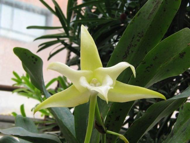Орхидея «Слоновый Ангрекум» имеет ремневидные листья с длинной до 1 м