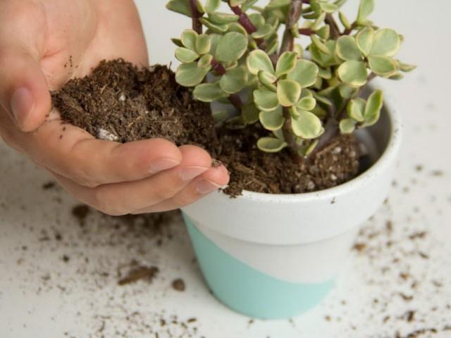 Замена грунта у растения с замедленным ростом