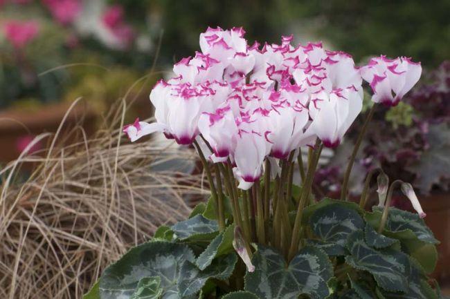 При приобретении цикламена персидского рекомендуется отдавать предпочтение растениям, которые только вступили в стадию цветения