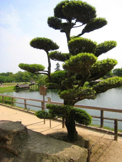 Японский парк Кераку-эн летом. Необычное дерево. Фото