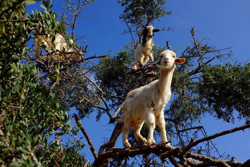 Коза стихии дерево