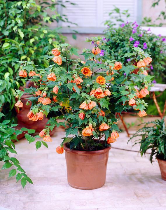 Цветы на пол: 10 лучших комнатных деревьев - фото 6