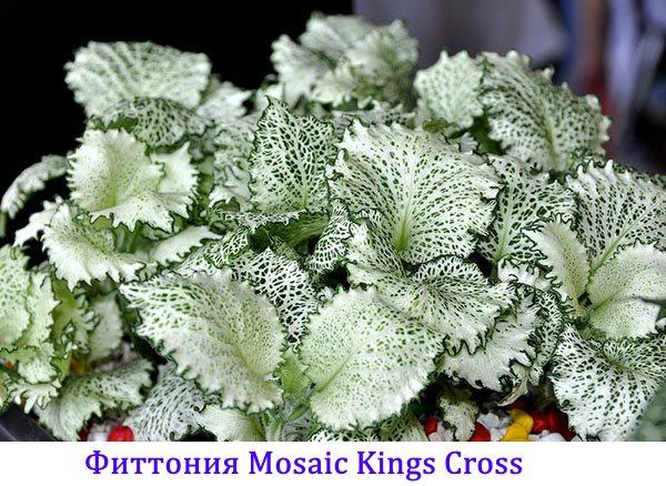 Фиттония Mosaic Kings Cross