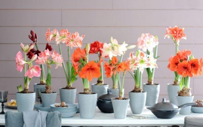 Сорта гиппеаструмов достаточно многообразны благодаря селекции этого яркого и красивого растения