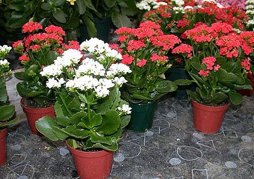 В магазине растениям дают специальный стимулятор для цветения