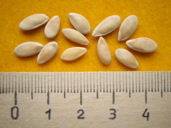 Семена діни