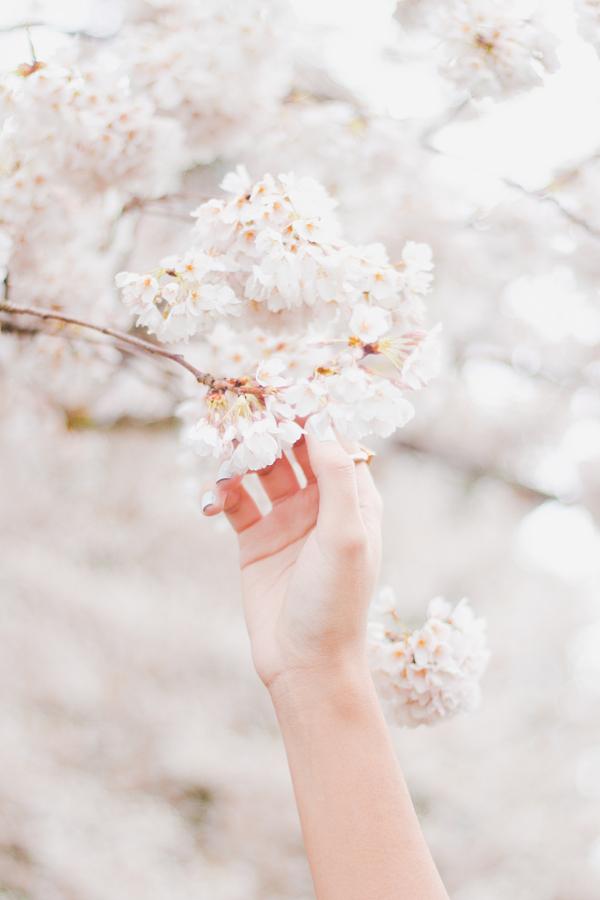 25 фотографий о цветении вишни по всему миру