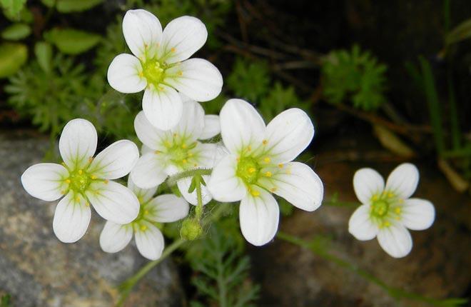 цветки камнеломки