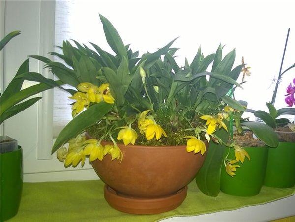 Существует несколько видов орхидеи Променей