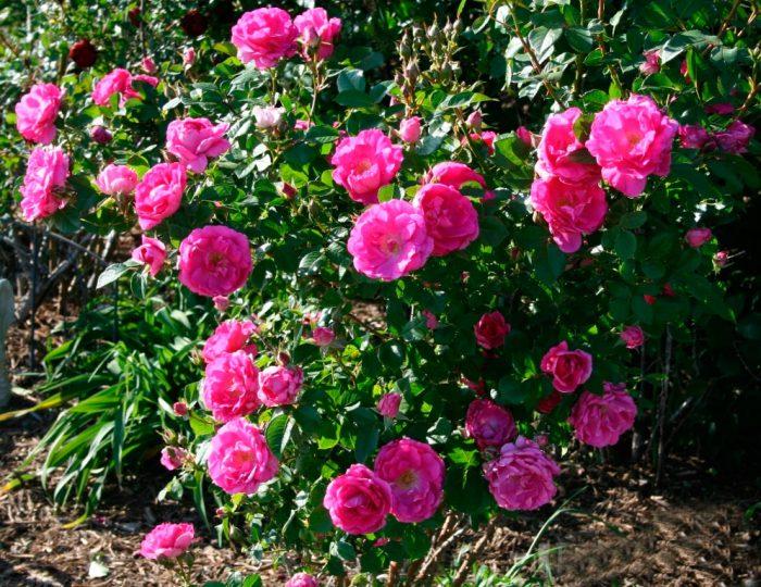 Особенности кустовых роз
