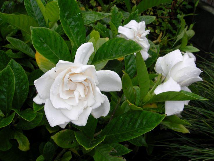 Цветы гардения жасминовидная фото и уход в домашних