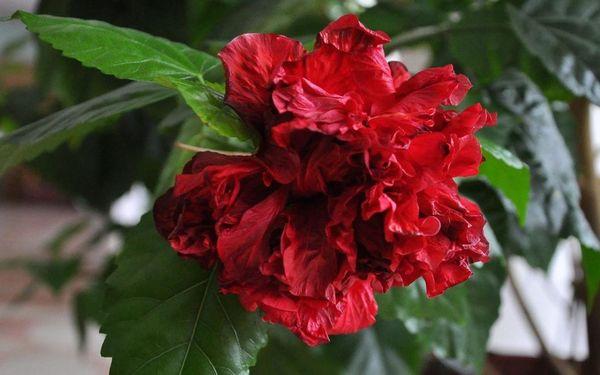 Гибискус – растение, которое очень любит влагу