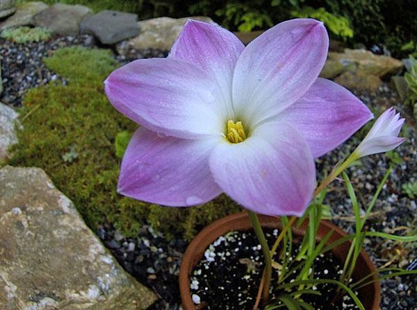 Весной растение просыпается и выпускает бутоны